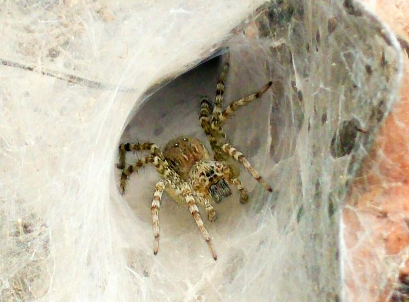 Cambogia ragno