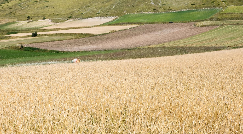 Cammino nelle Terre Mutate viaggio in centro Italia a piedi piana di Castelluccio di Norcia mais
