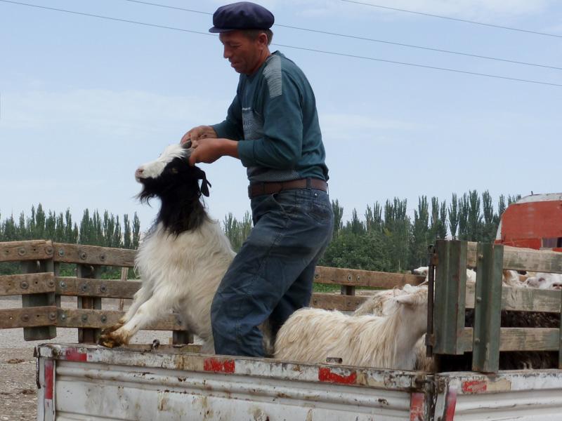 Cina capra