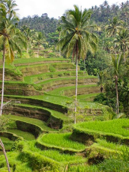 Indonesia Bali risaie