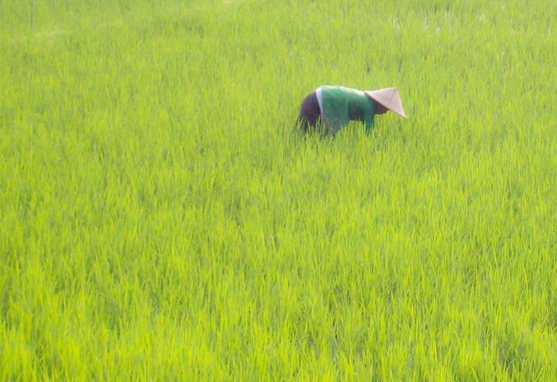 Indonesia riso