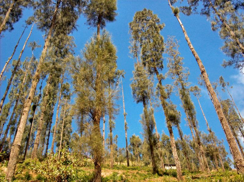 Indonesia alberi