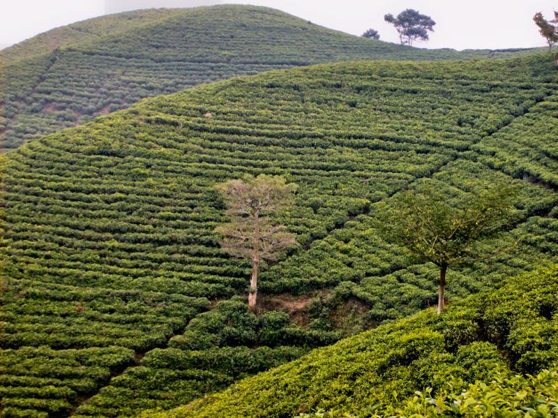 Indonesia tè