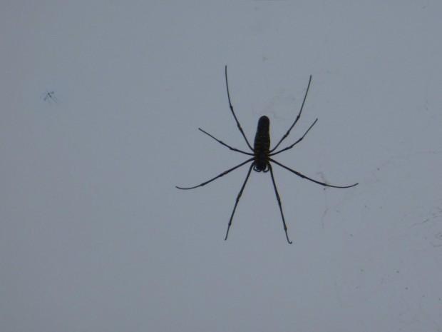 Laos ragno