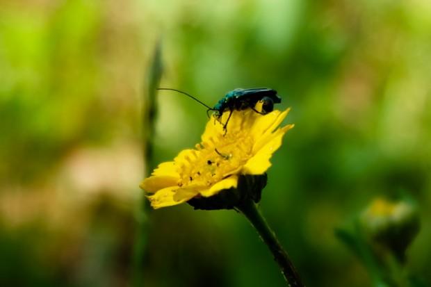 Fiore scarafaggio