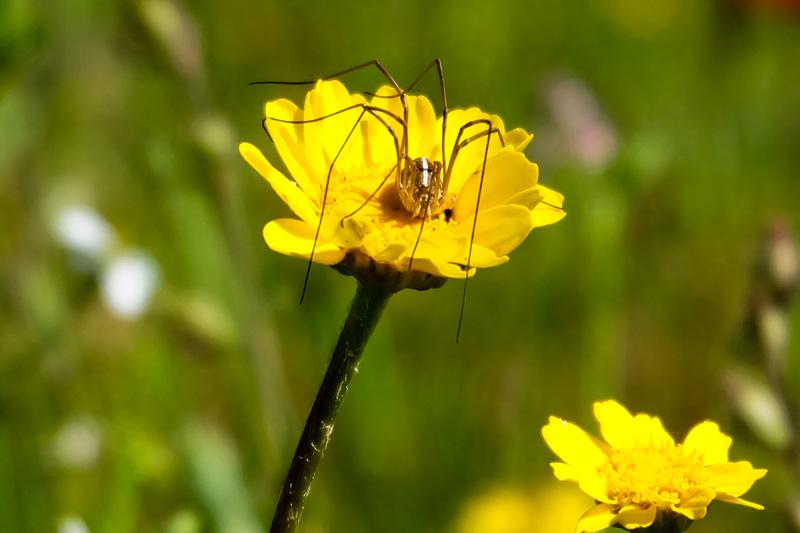 Ragno sul fiore