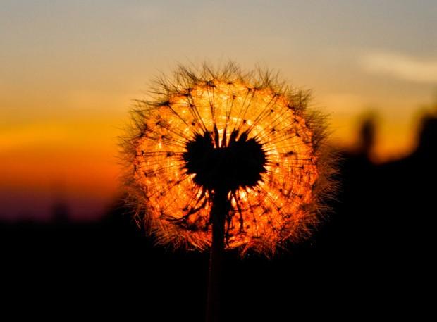 Fiore soffione tramonto