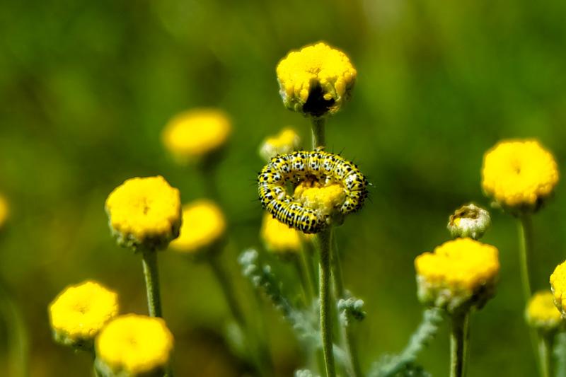 Bruco fiore