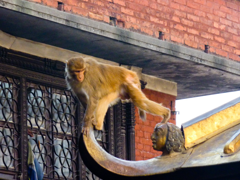 Nepal tempio delle scimmie kathmandu
