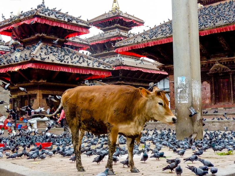 Nepal vacca sacra