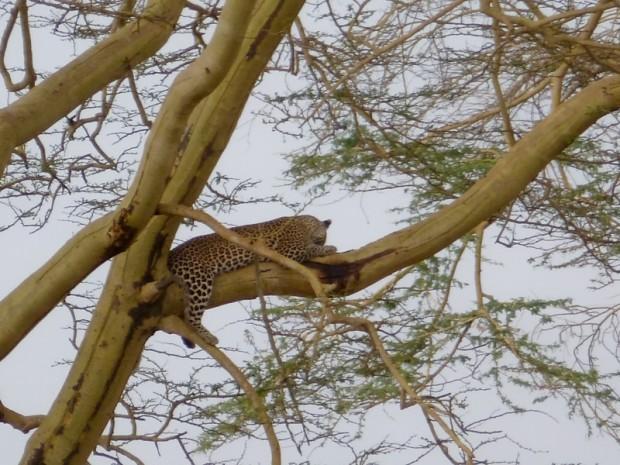 Tanzania felino
