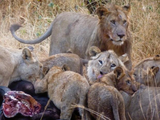 Serengeti tanzania leoni caccia