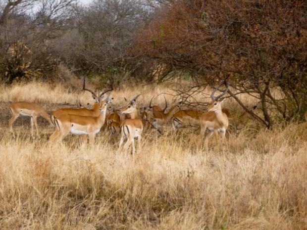 Serengeti gazzelle