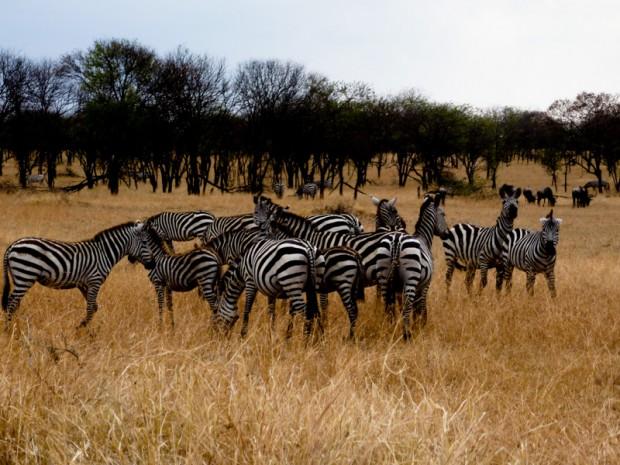 Savana zebre