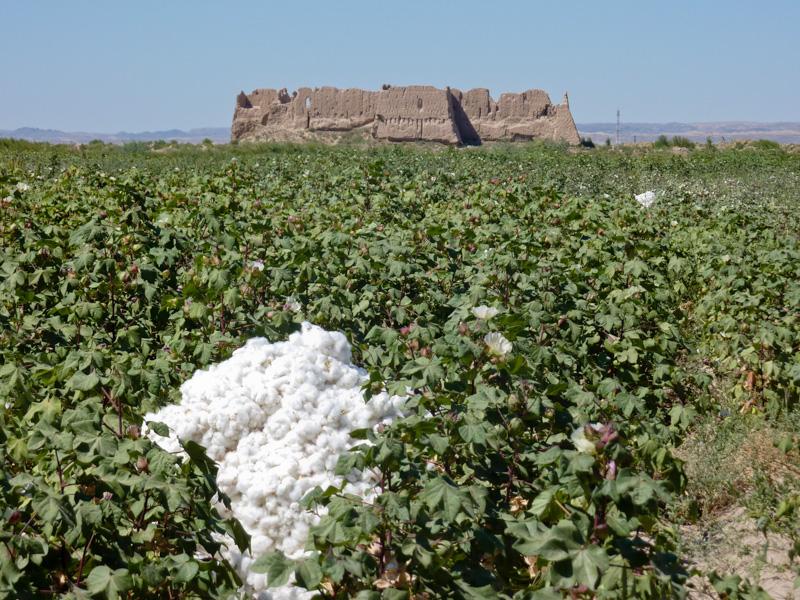 Uzbekistan campi di cotone