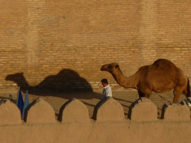 Uzbekistan cammello