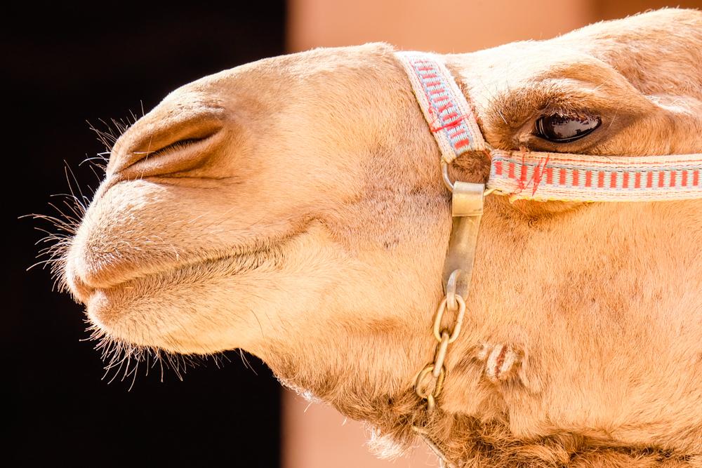 Viaggio in Giordania cammello
