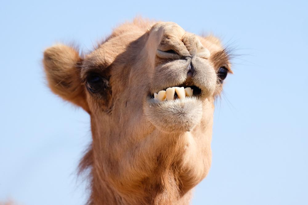 Viaggio in Giordania racconto cammello primo piano