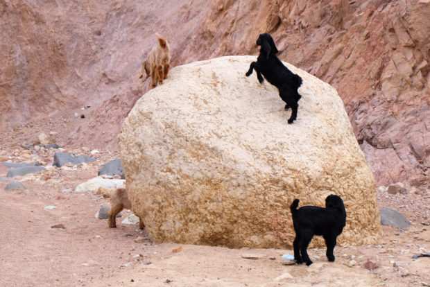 Viaggio in Giordania racconto capre