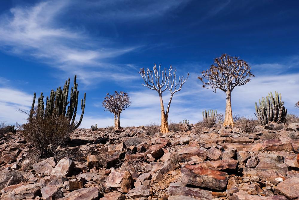 Viaggio in Namibia alberi