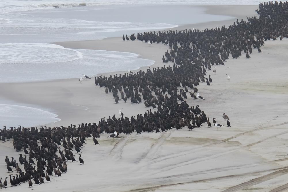 Viaggio in Namibia cormorani spiaggia