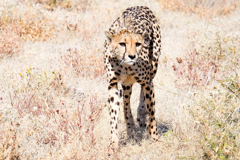 Viaggio in Namibia etosha ghepardo