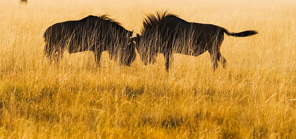 Viaggio in Namibia etosha gnu
