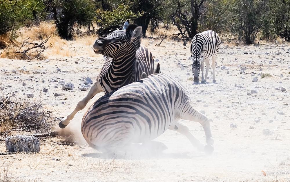 iaggio in Namibia etosha zebre litigio