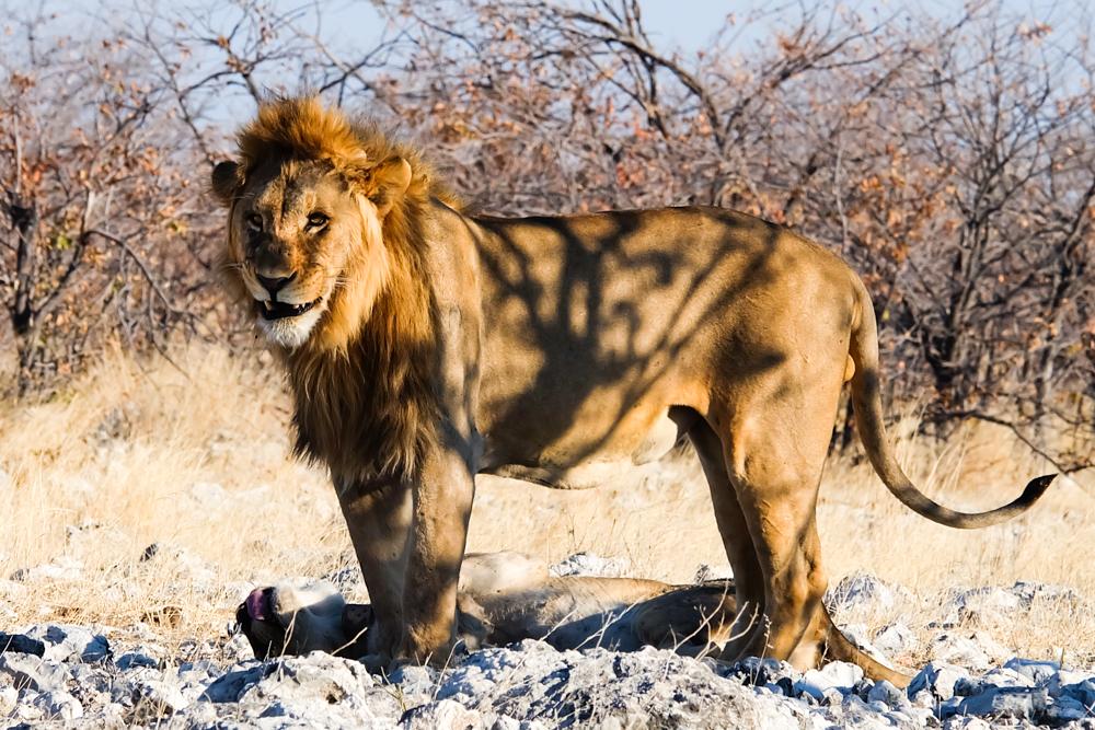 Viaggio in Namibia leone maschio