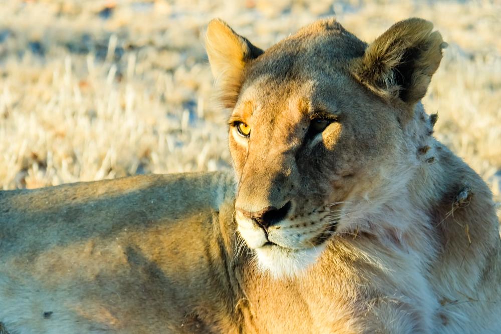 Viaggio in Namibia leonessa