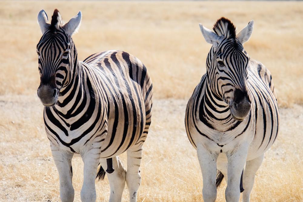 Viaggio in Namibia zebre