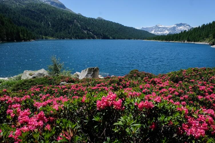 alpe devero lago rododendri