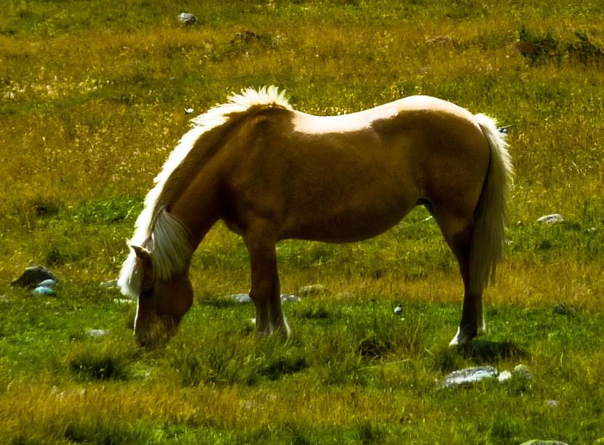 alpe veglia cavallo
