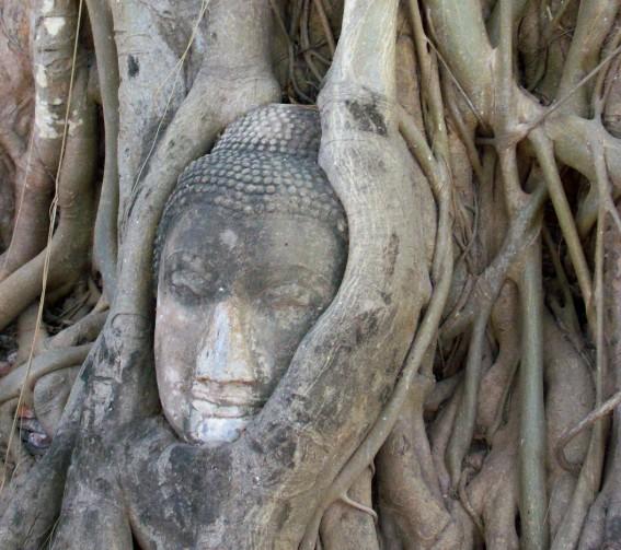 ayutthaya budda testa albero