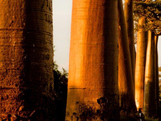 """Madagascar: la """"Baobab Avenue"""" (la strada dei baobab)"""