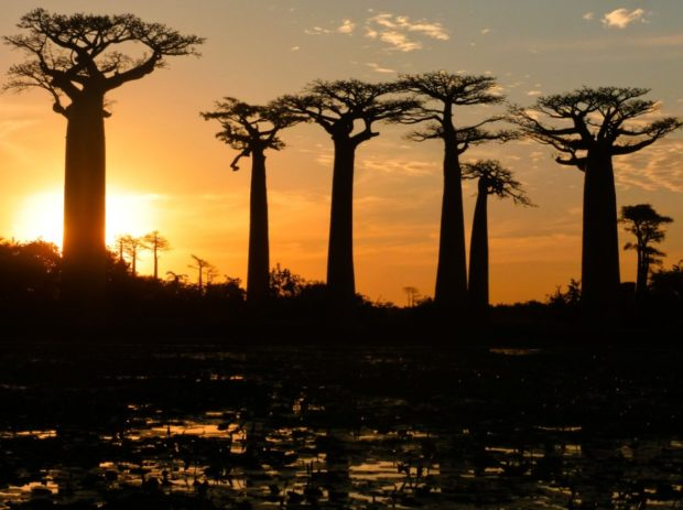 baobab avenue madagascar morondava tramonto