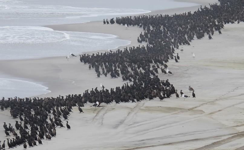 cape cross namibia cormorani