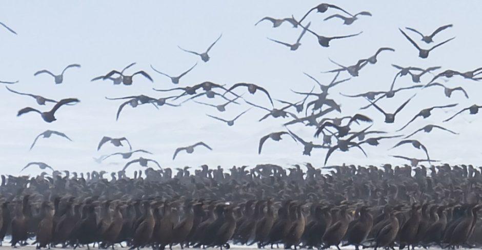 cormorani cape cross namibia