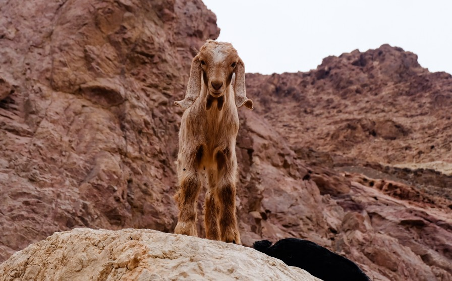 dana giordania capra