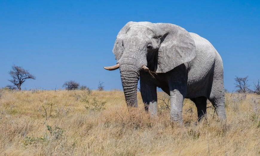 elefante etiosha namibia