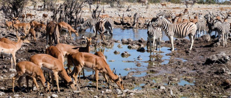 etosha namibia gazzelle