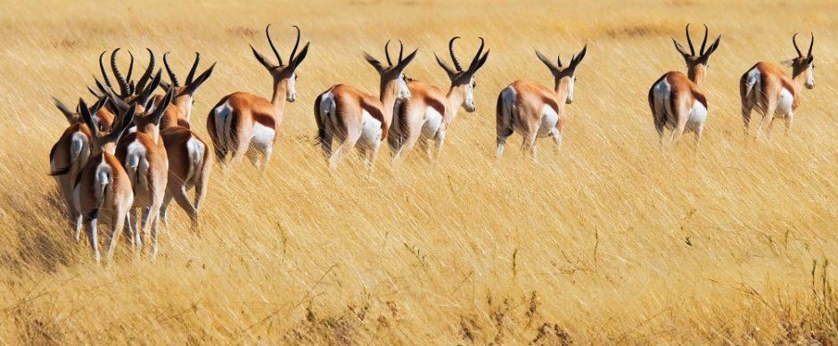 etosha namibia gazzelle savana