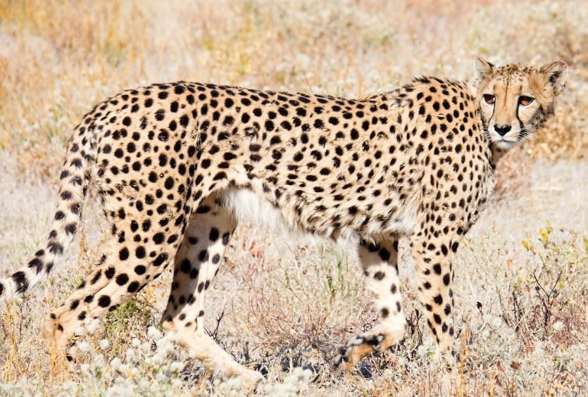 etosha namibia ghepardo