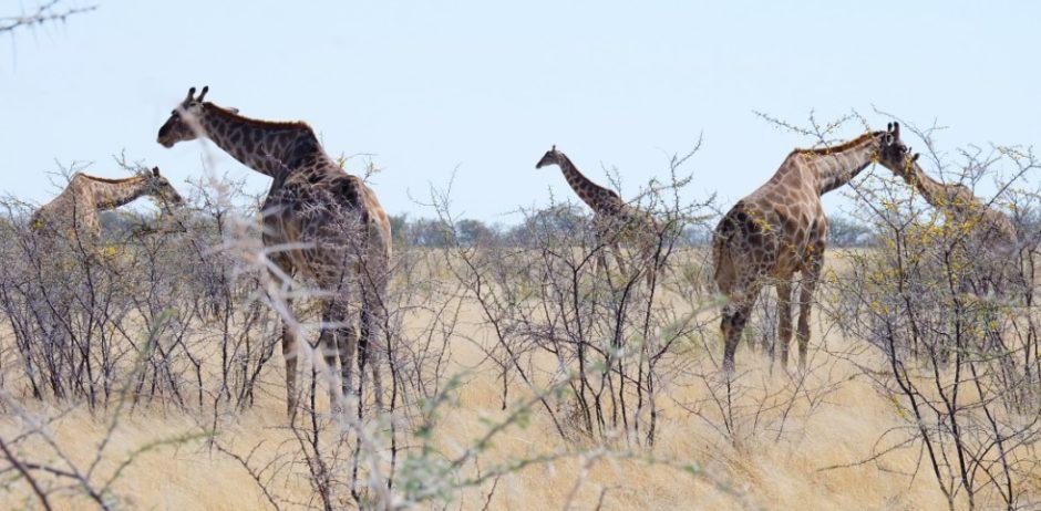 etosha namibia giraffe
