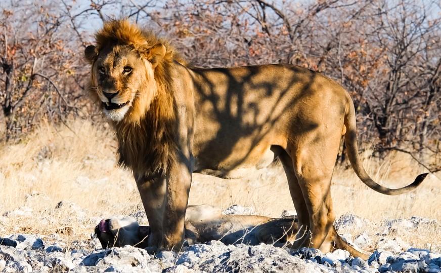 etosha namibia leone maschio