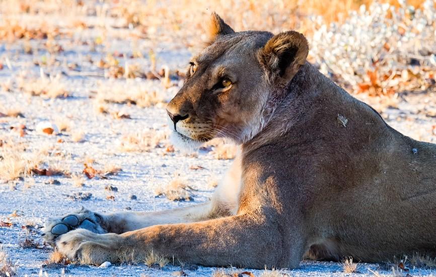 etosha namibia leonessa