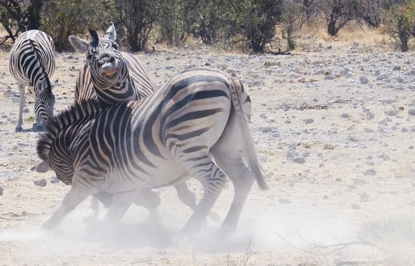 etosha namibia zebre