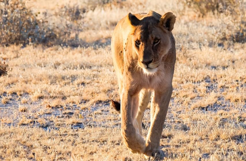 etosha parco namibia leone
