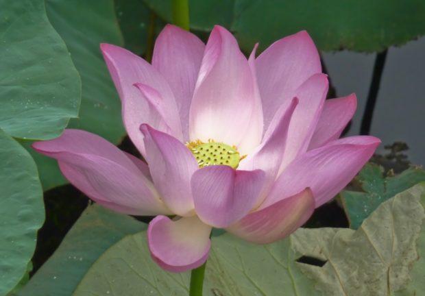 fiore loto palazzo estate pechino