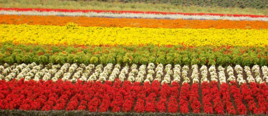 fiori hokkaido giappone